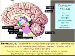 Центральная нервная система, гипоталамус
