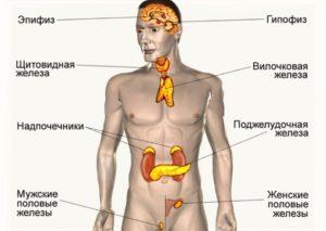 Составляющие эндокринной системы